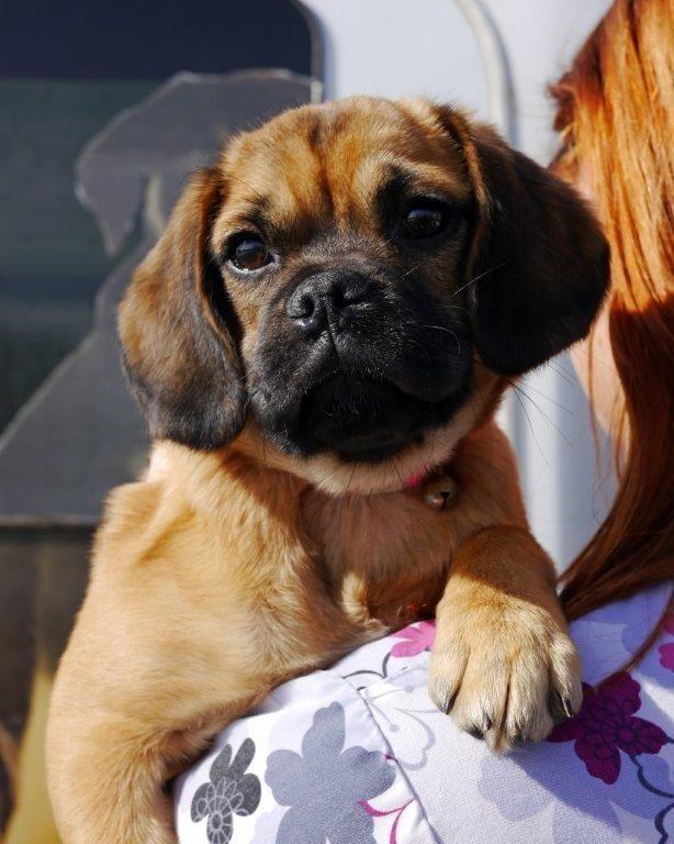 Adopt Snuggle The Puggle On Snuggles Pug Beagle Mix Adoption