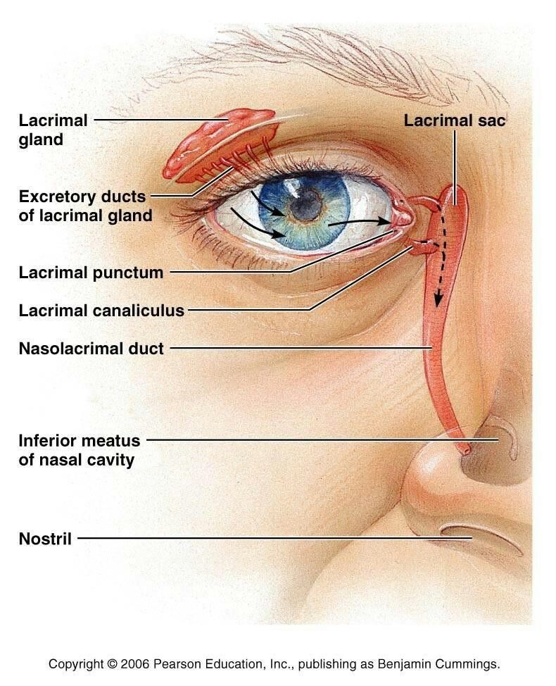 Lacrimal gland anatomy | Health- Oils, Teas, Herbal & Spiritual ...