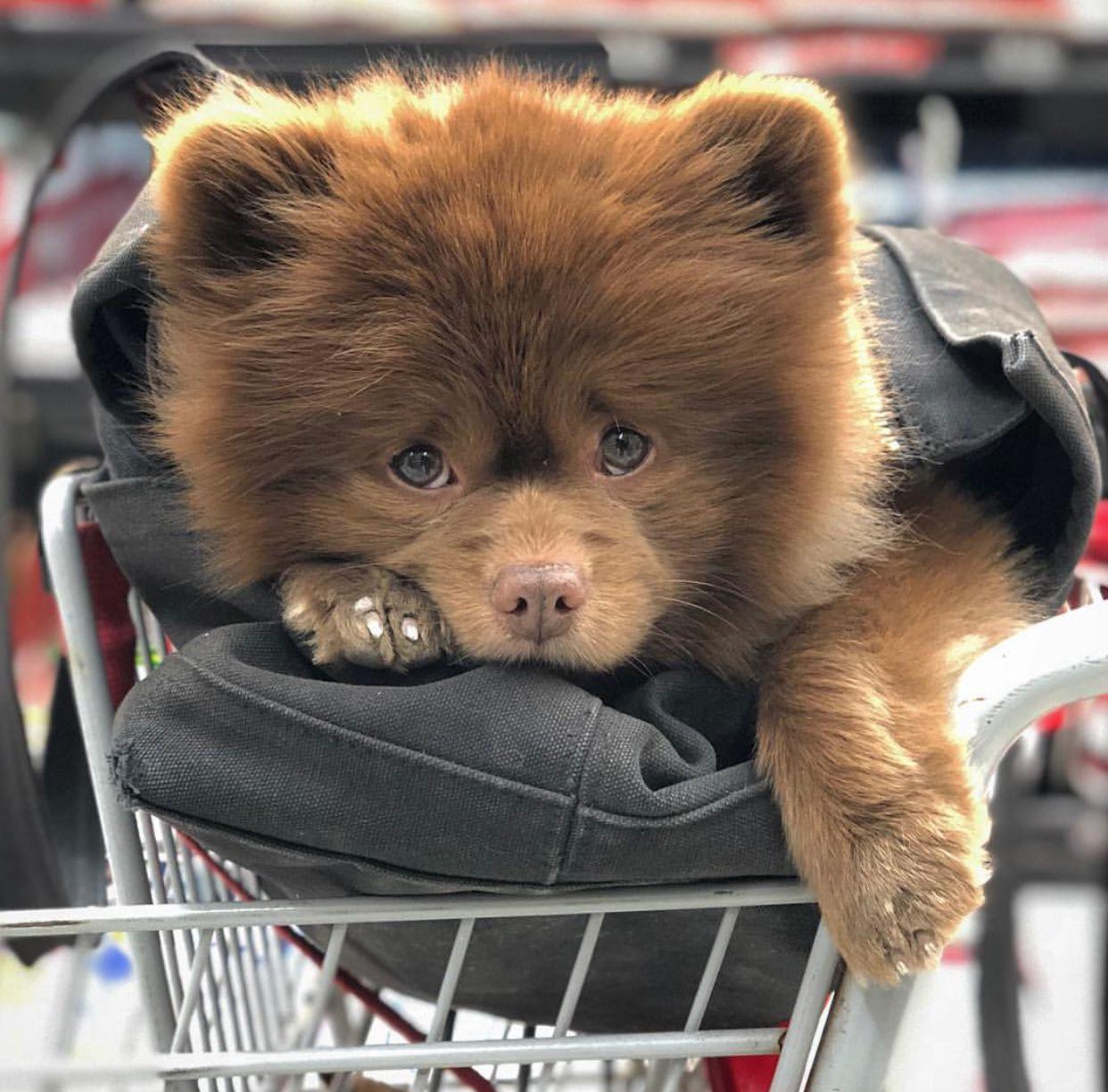 Pin By Chloebabyxoxo On Dog Lovers Pomeranian Puppy Pomeranian Dog Puppies