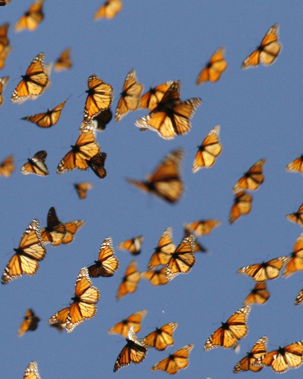 cold snaps trigger monarch butterfly migrations monarch