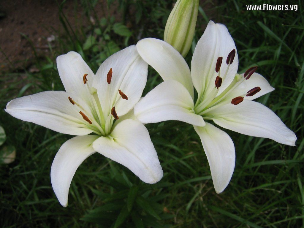 White Lilies Growing I Love Lilies References Pinterest