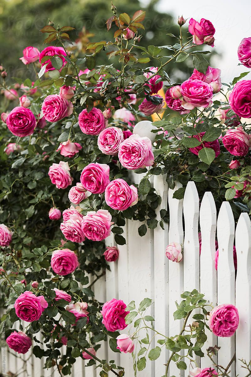 White Picket Fence Roses By Maite Pons Stocksy United In 2020 White Picket Fence Picket Fence Pretty Flowers
