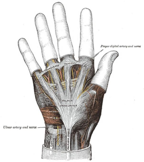 The Palmar Aponeurosis Invests The Muscles Of The Palm And Consists