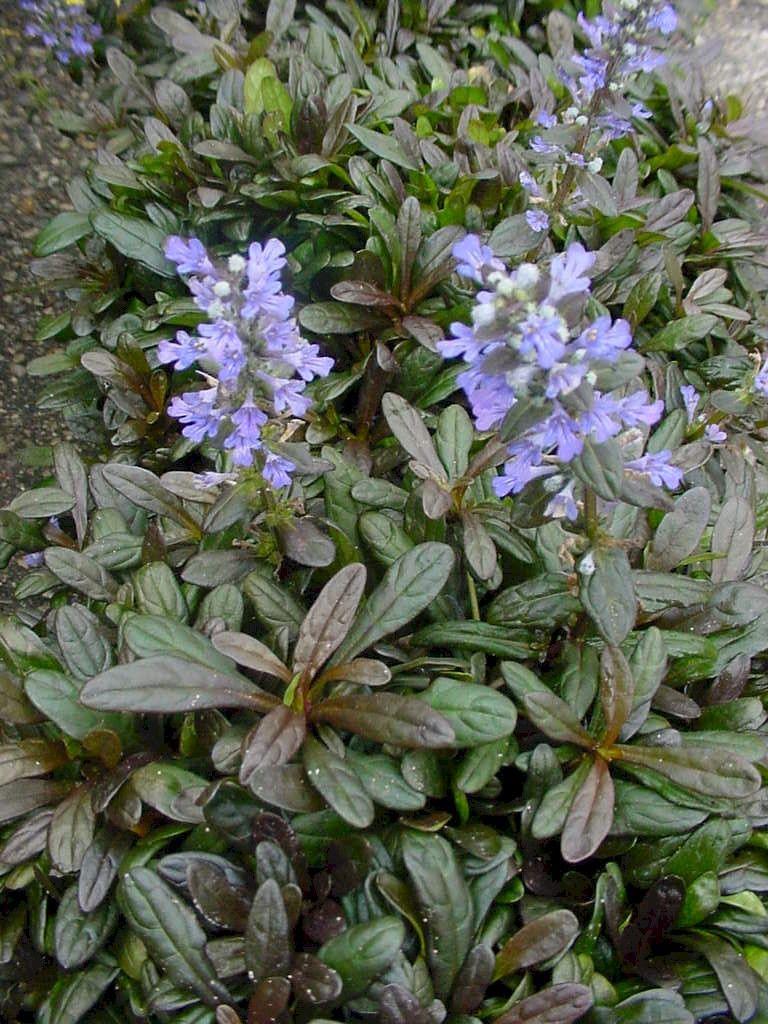 Chocolate Chip' Ajuga | Perennials for Georgia Gardens | Plants