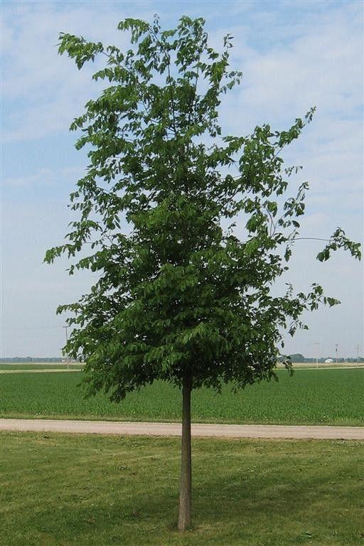 Native Hackberry Trees Tree Specimen