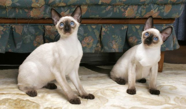 Two Seal Point Siamese Cats Best Cat Breeds Cat Breeds Cats