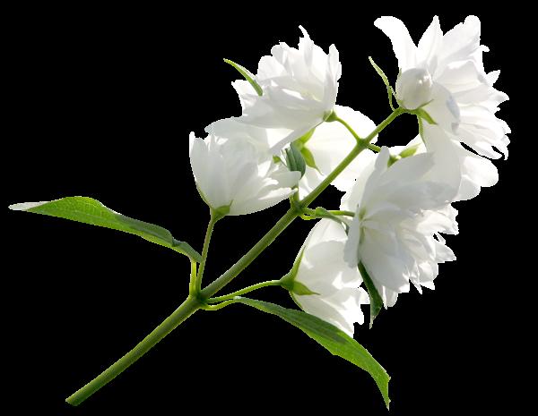 White Flower Png Clipart Image White Flower Png White Flowers Clipart Images