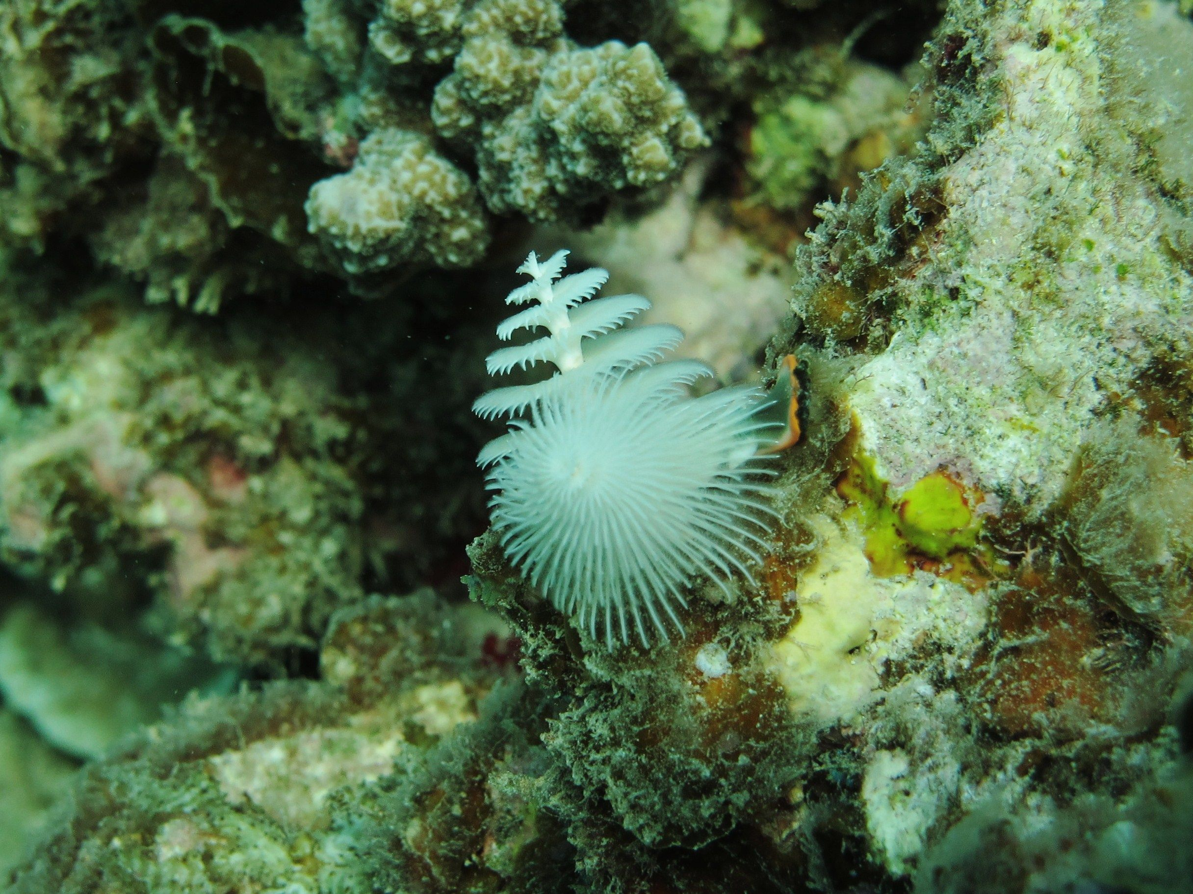 Here Is The Christmas Tree Worm For Today If You Move Your Hand Over This It Will Disappear Down Its Hidy Hole In Saltwater Tank Fish Pet Salt And Water