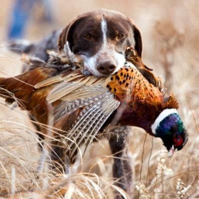 Pin By Constantinos Coudounaris On Dog Training Hunting Dogs
