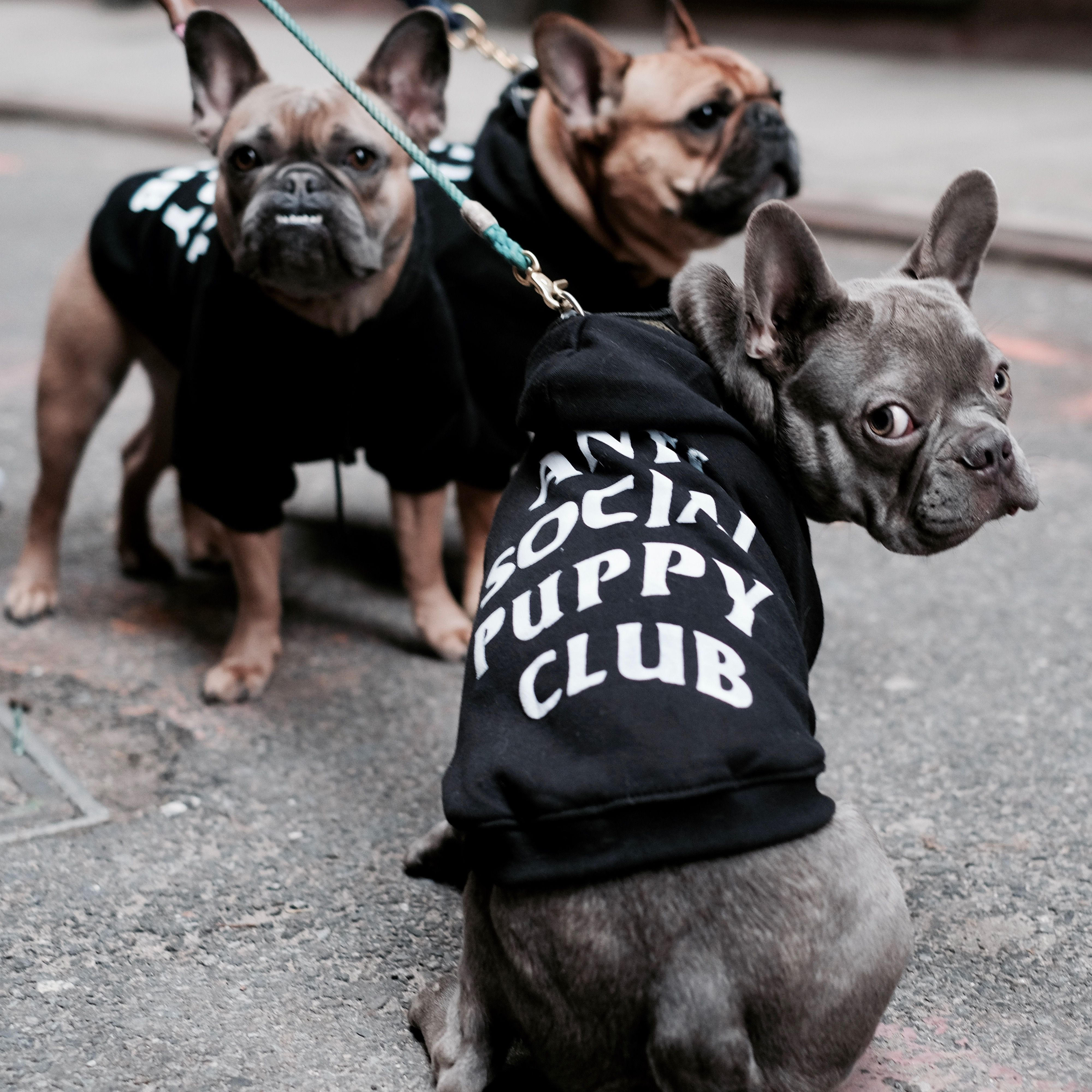 Anti social puppy club anti social french bulldogs and dog size chart size weight length neck che nvjuhfo Choice Image