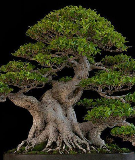 Bonsai Bark   Promoting and Expanding the Bonsai Universe   Page 3 #bonsaiplants