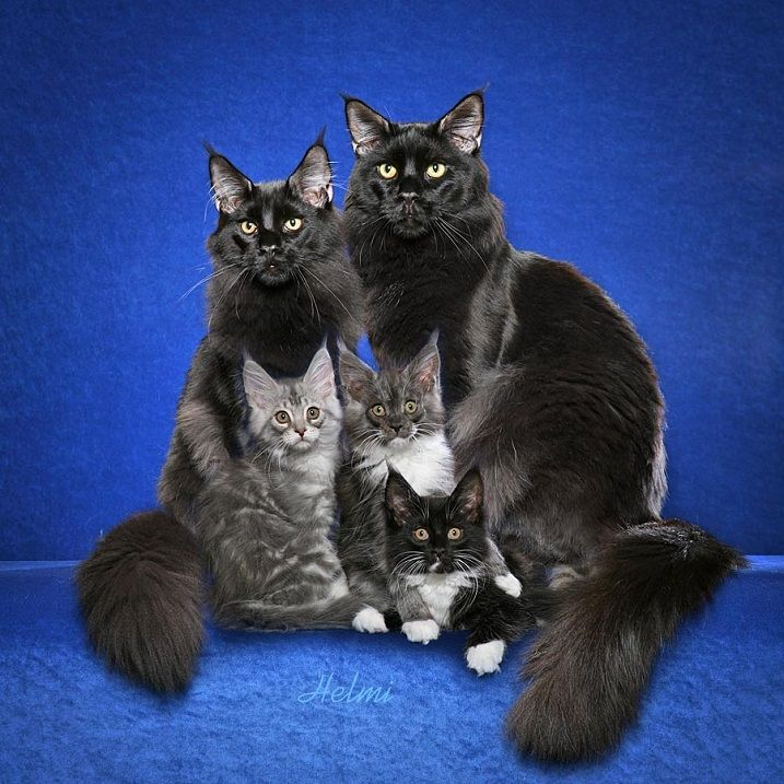 фото взрослых котов мейн кун