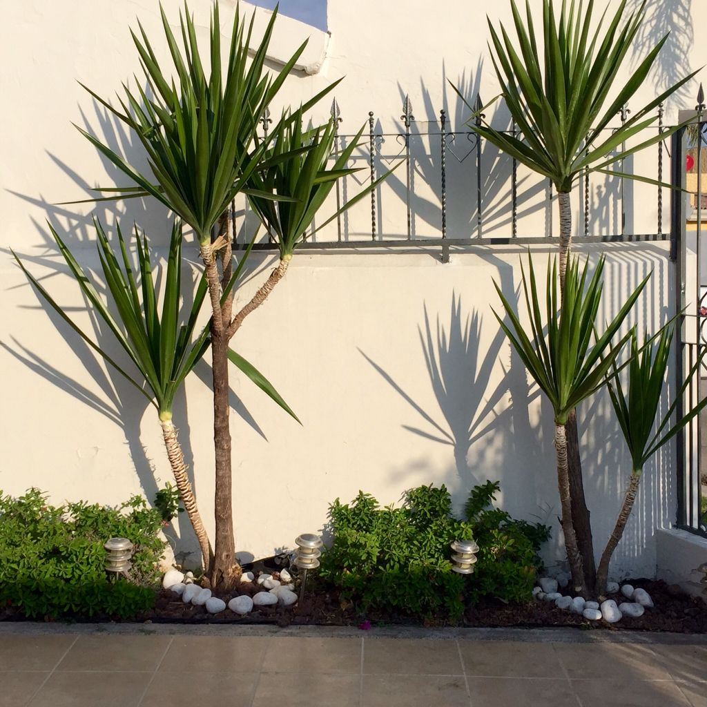 Palma yuca poca agua y mucho sol jardines que quiero for Jardineria exterior con guijarros