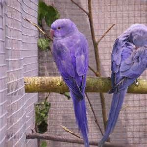 violet indian ringneck - Bing Images | Bird Stuff | Parakeet