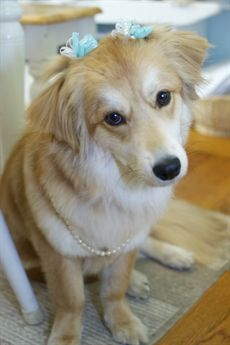 Golden Retriever Border Collie Mix Google Search Golden