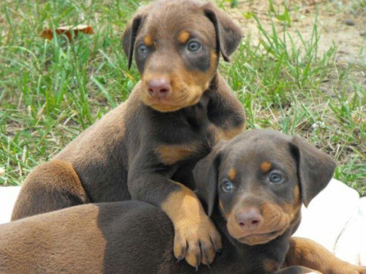 Red Doberman Puppies Doberman Pinscher Doberman Pinscher Natural Ears Doberman Puppy