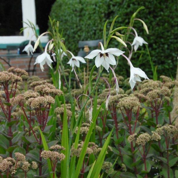 gladiolus callianthus 39 murielae 39 sollten sie diese herrlich duftende blume mit ihren. Black Bedroom Furniture Sets. Home Design Ideas