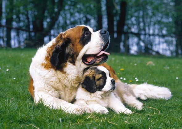The 15 Quietest Dog Breeds Thats A Laff My Saint Will Bark Forever