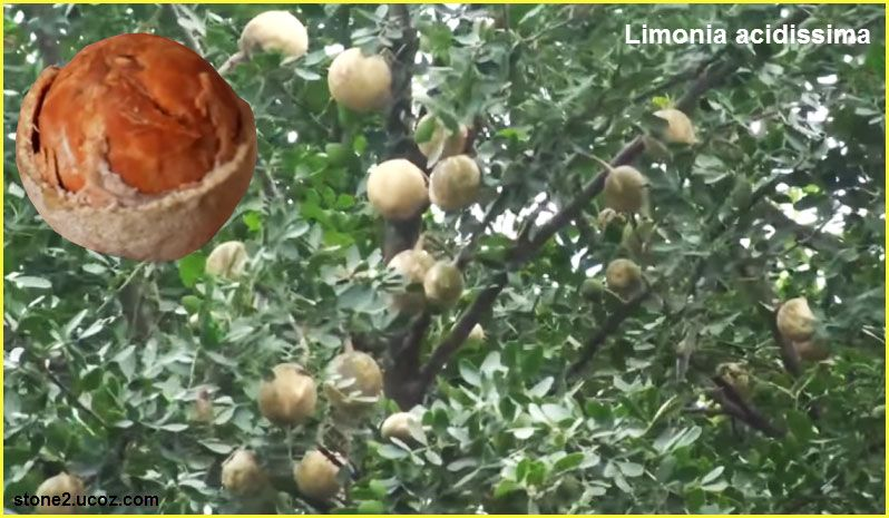 تفاح الفيل او تفاح الخشب فاكهة من الحمضيات Limonia Acidissima حمضيات النبات معلومان عامه معلوماتية Fruit Vegetables Onion
