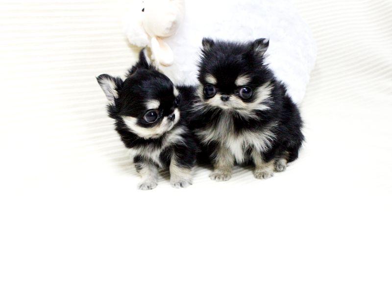"Lil ""Lassie"" ❤️One Blue & One Brown Eye! - Mini White"