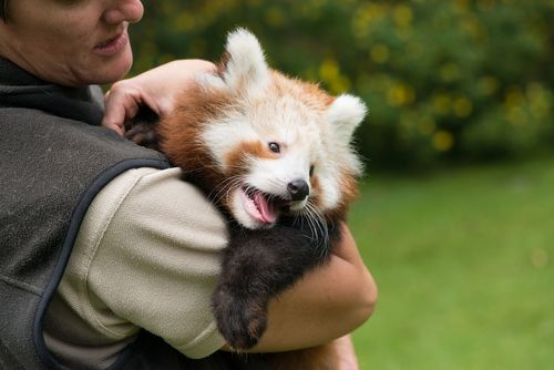 Chai, a Red Panda cub born at Mogo Zoo on the South Coast of New South Wales