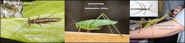 Naturarchives. Biodiversity. Instituto Bidebieta.Plecópteros, Ortópteros y Fásmidos
