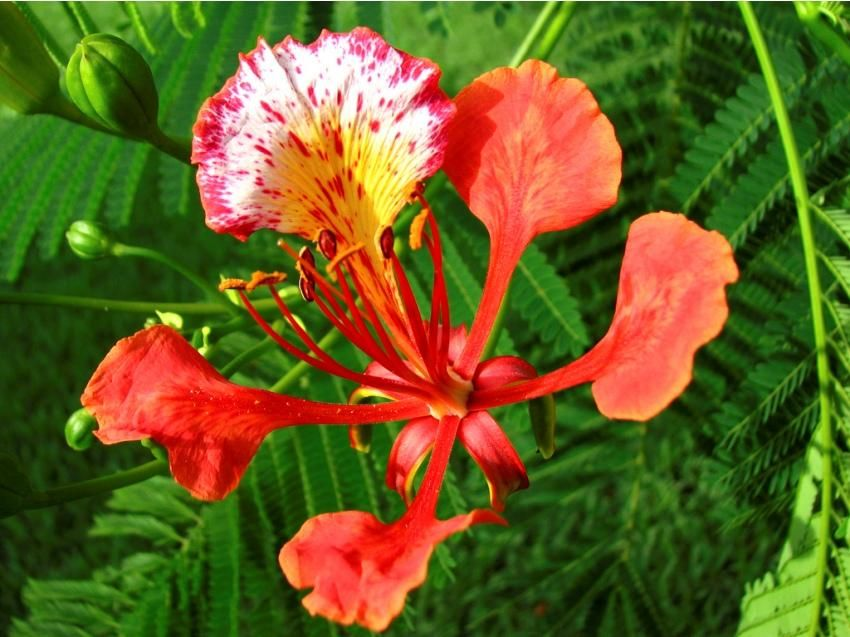 National Flowers Madagascar Poinciana (Delonix regia