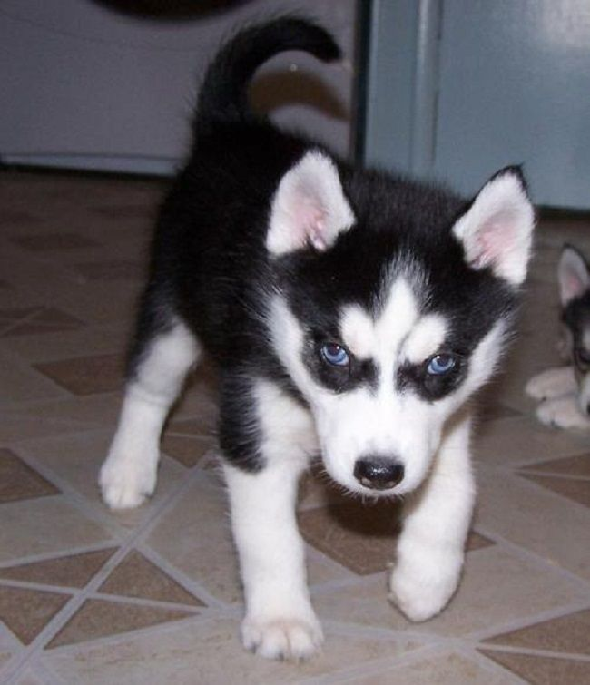 Siberian Husky Puppies Black And White Zoe Fans Blog Husky