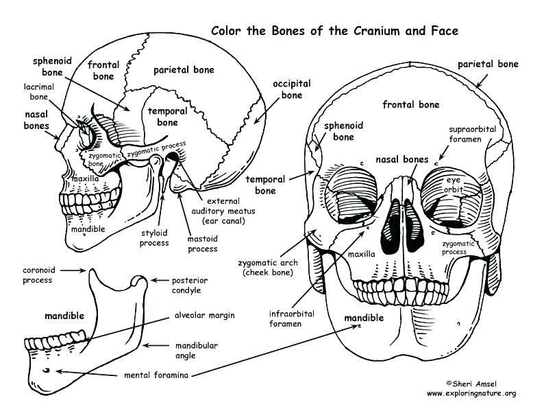 human anatomy coloring book 41 and skull coloring pages ...