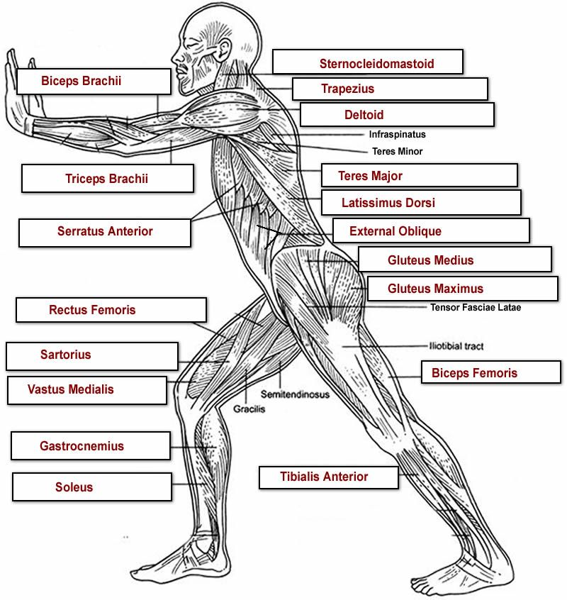 Human Muscles Diagram Quiz - DIY Wiring Diagrams •