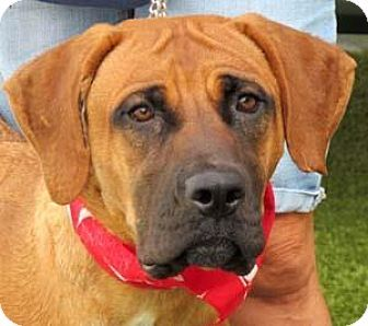 Wenatchee, WA - Mastiff Mix. Meet Janice, a dog for adoption. http://www.adoptapet.com/pet/13914456-wenatchee-washington-mastiff-mix