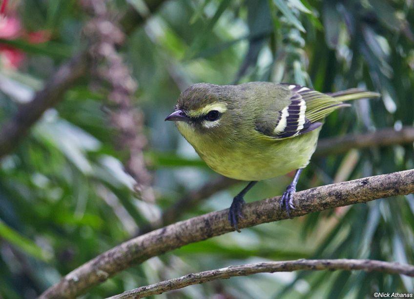Yellow-winged Vireo - Vireo carmioli