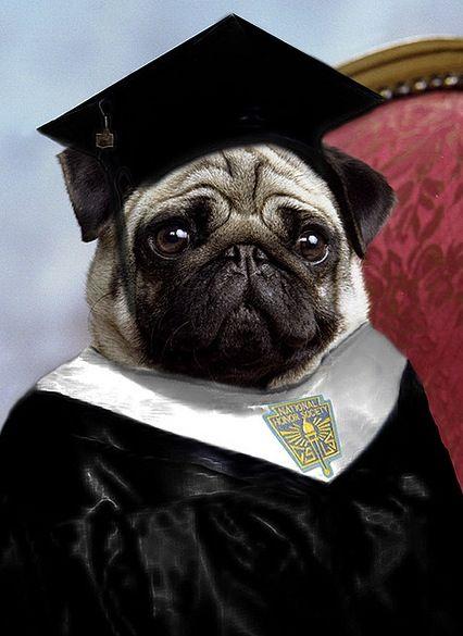 The Graduate So Where S Mrs Robinson Pugs Funny Cute Pugs Pugs
