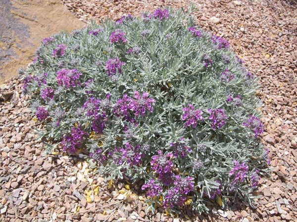 Gray Creeping Germander Drought Tolerant Gray Green Leaved Evergreen Groundcover Drought Tolerant Landscape Evergreen Groundcover High Desert Landscaping