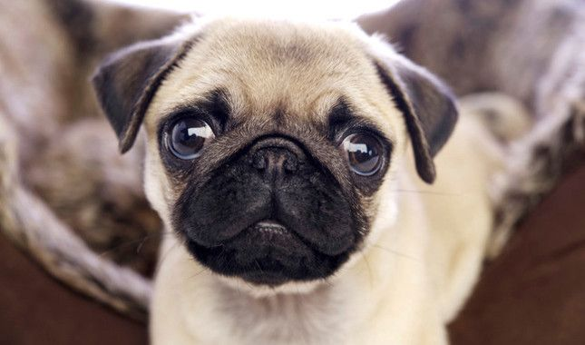 Pug Breed Information Maybe I Want One Of These Cute Pug Puppies