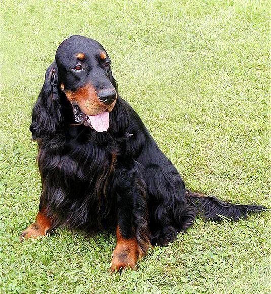 Gordon Setter Haustier & Co Alles über Haustiere (With