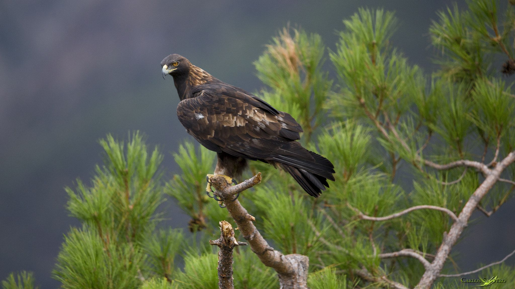 Majestic Raptor The Golden Eagle National Symbol Of Mexico The