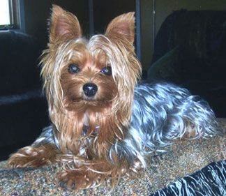 Blue And Gold Yorkie He Has A Distinctively Beautiful Glistening