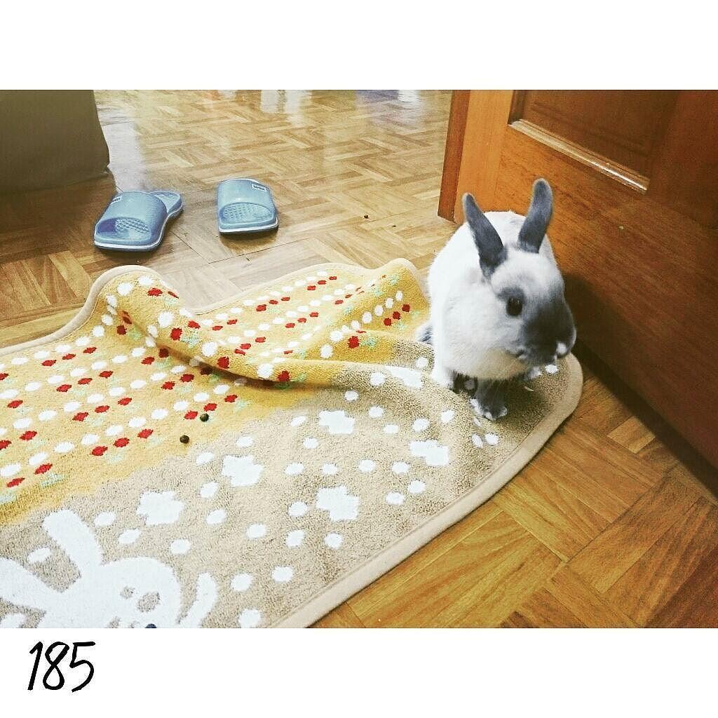 16.0403 DAY185 平安到台中啦  啊罵送的新地毯 一下子就被我破解止滑技能了 Arrived Taichung already #nuomi #instaanimal #bunnylove #bunny #usagi#ウサギ#instabunny #rabbits #instarabbit #dailyflufffeature #侏儒兔 #兔  #rabbit #iganimal_snaps #iganimal#instacute#pets #happy_pet #taiwan #nuomi185 #185 #星期日 #糯米的新物 by nuomi_1002