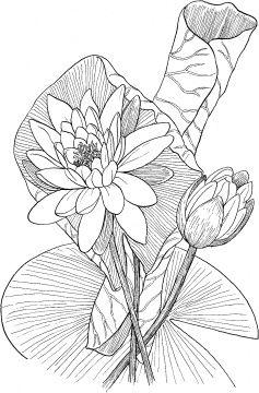 Kleurplaten Waterlelies.Coloring For Adults Kleuren Voor Volwassenen Kleurplaten Coloring