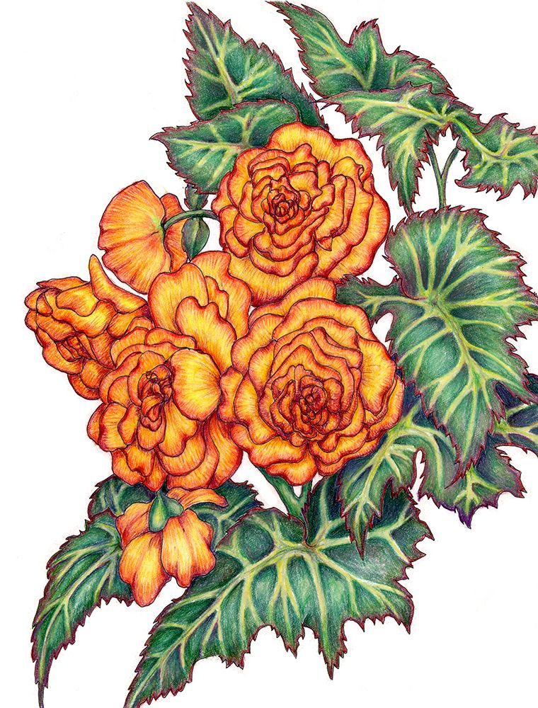 Stylized Begonia Drawing Flower Drawing Digital Flowers Drawings