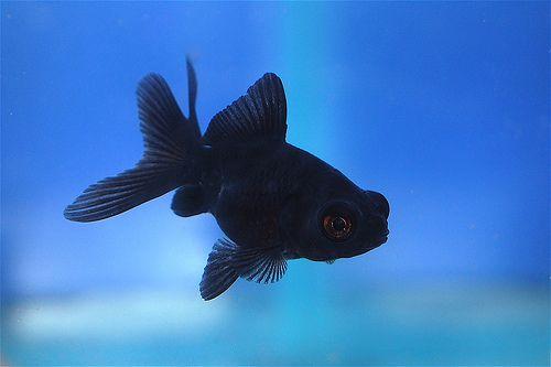 Eva S Birthday Covet A Googly Eyed Black Goldfish Goldfish Comet Goldfish Black Goldfish