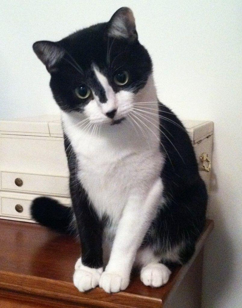 Handsome Tuxedo cat ♥ Distinctive black & white markings