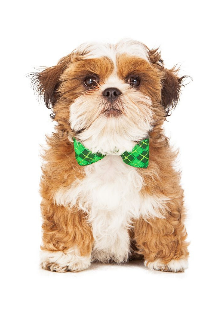 A Young Shih Tzu And Bichon Mix Puppy Wearing A Green Plaid Bow Tie Shihtzu In 2020 Shih Tzu Teddy Bear Dog Bear Dog Breed