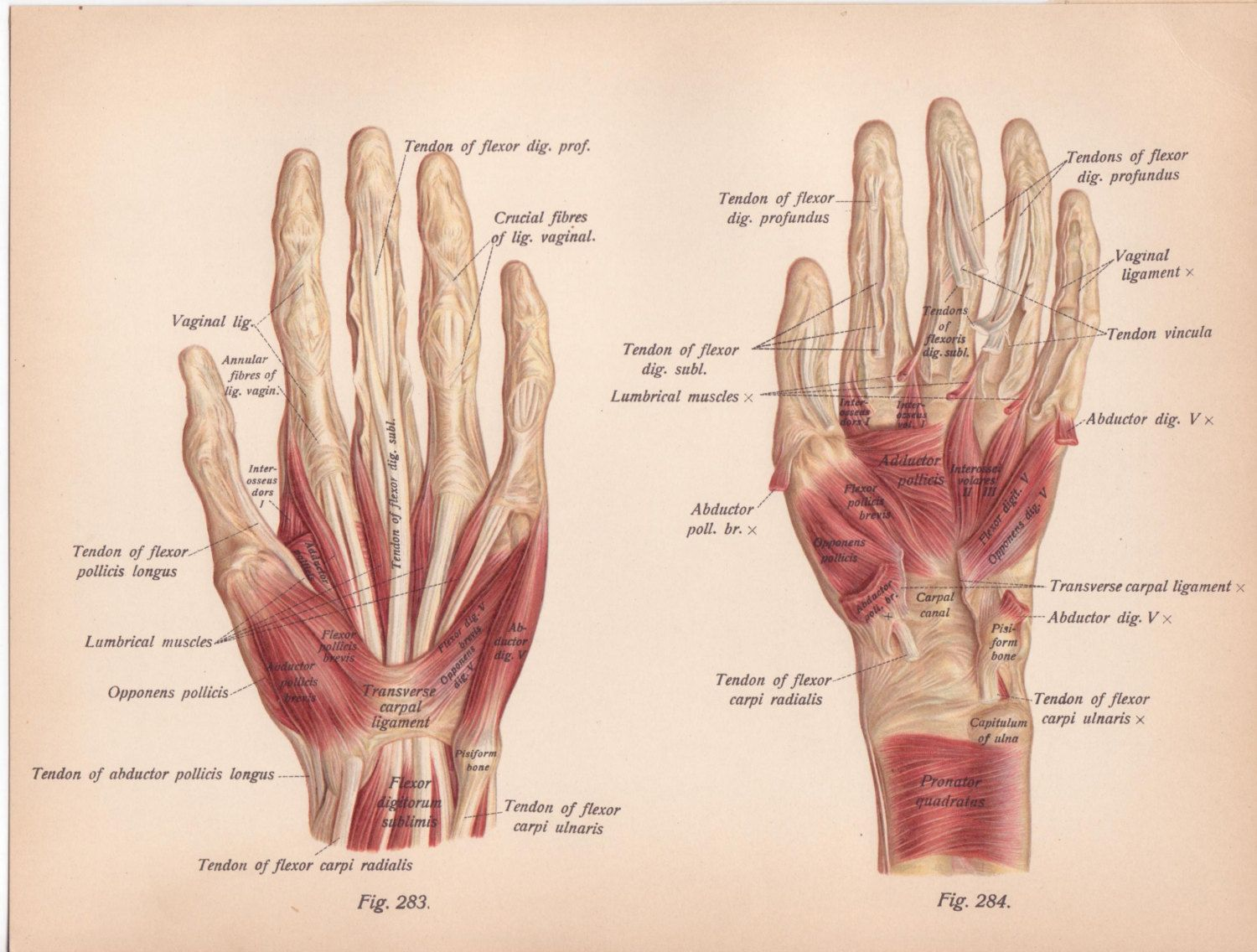 a20e151207eae3c4ce522abe01af6ee3 antique medical hand diagrams google search arm 'hand tattoo