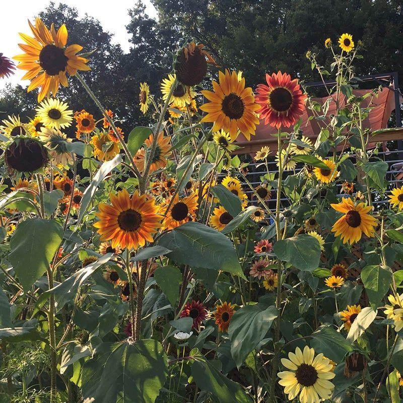 Sunflower Seeds Autumn Beauty Wildflower Seeds Wild Sunflower Planting Sunflowers