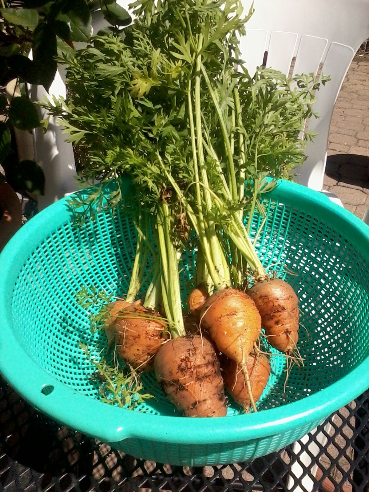 round baby romeo carrots from renee s garden seeds my