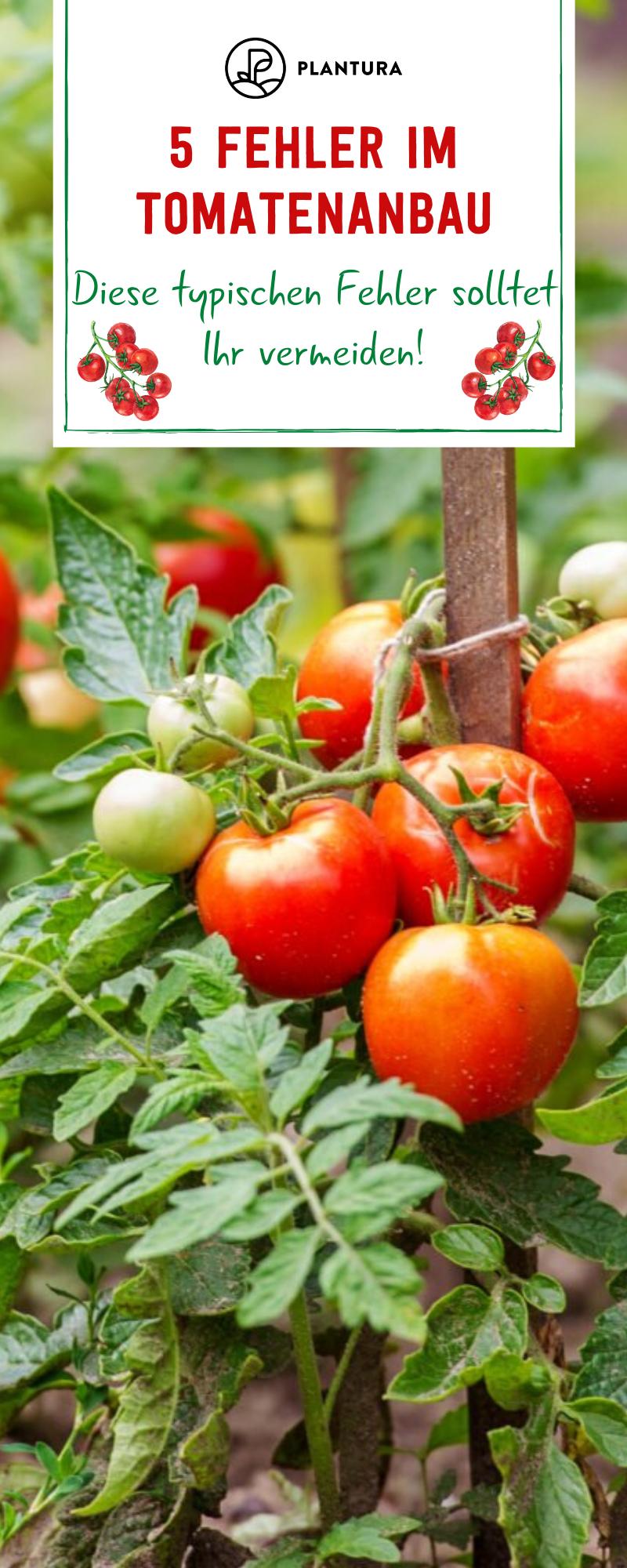 Vermeidet diese Fehler beim Tomaten anpflanzen !