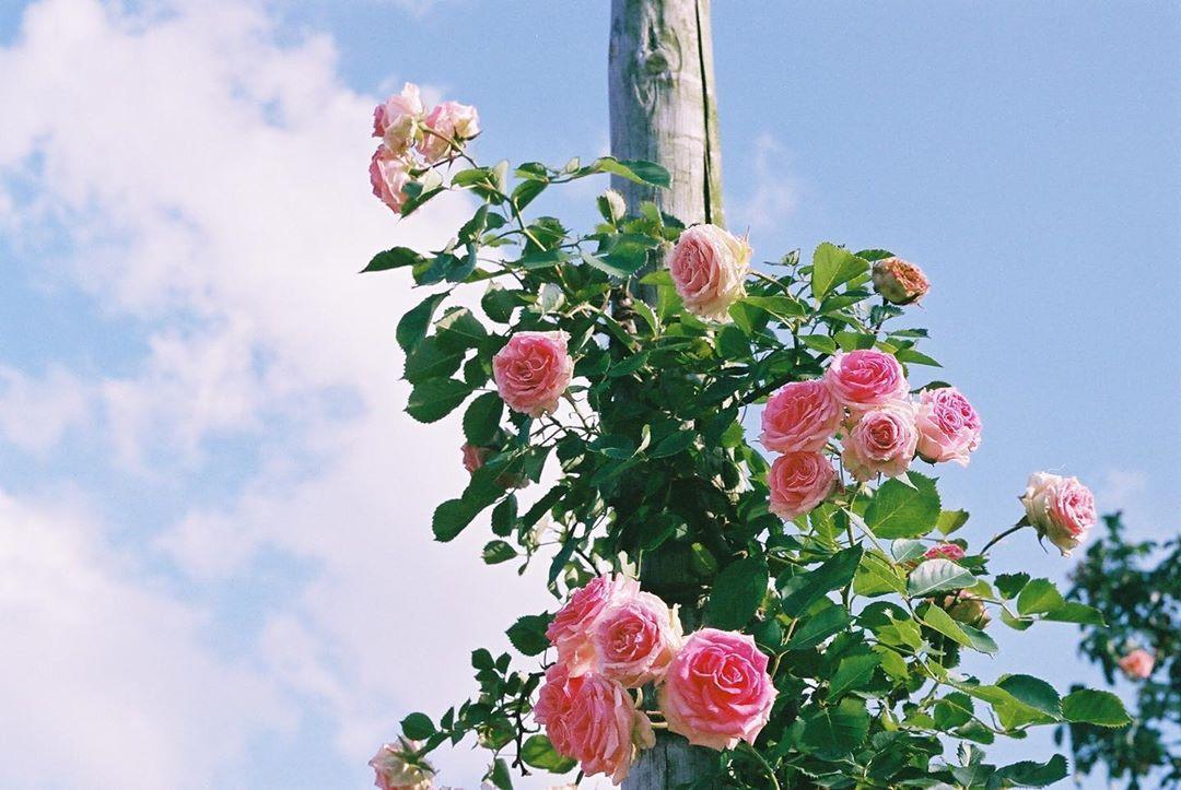 ピンクのバラ  #minoltax700 #filmphotography #photography #35mmfilm #filmphoto #filmcamera #フィルムカメラ  #フィルム写真  #film_jp  #filmisnotdead  #film #フィルム #필름  #필름사진 #필름카메라  #フィルム普及委員会  #filmsnap #snap #スナップ #instagood #analog  #花 #flowers #バラ #rose #pink #japan #film365life