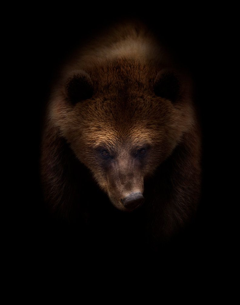 big grizzly bear photographer nick clements